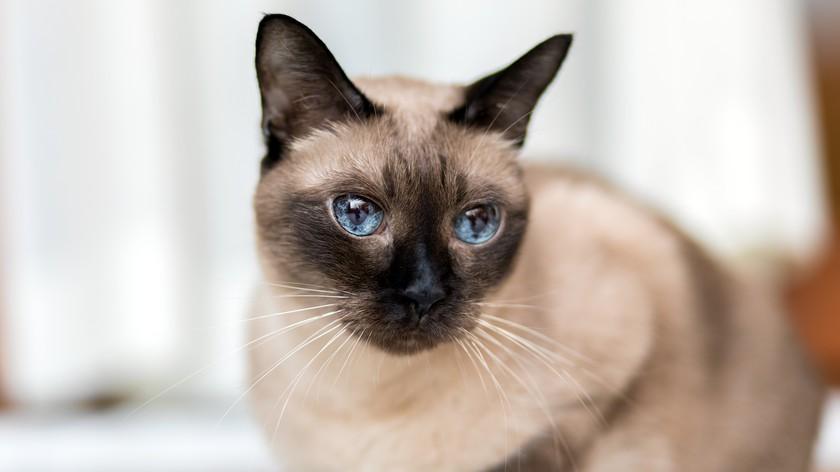 Породы кошек с голубыми глазами. Колор-пойнты и их потомки